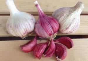 growing garlic indoors hardneck